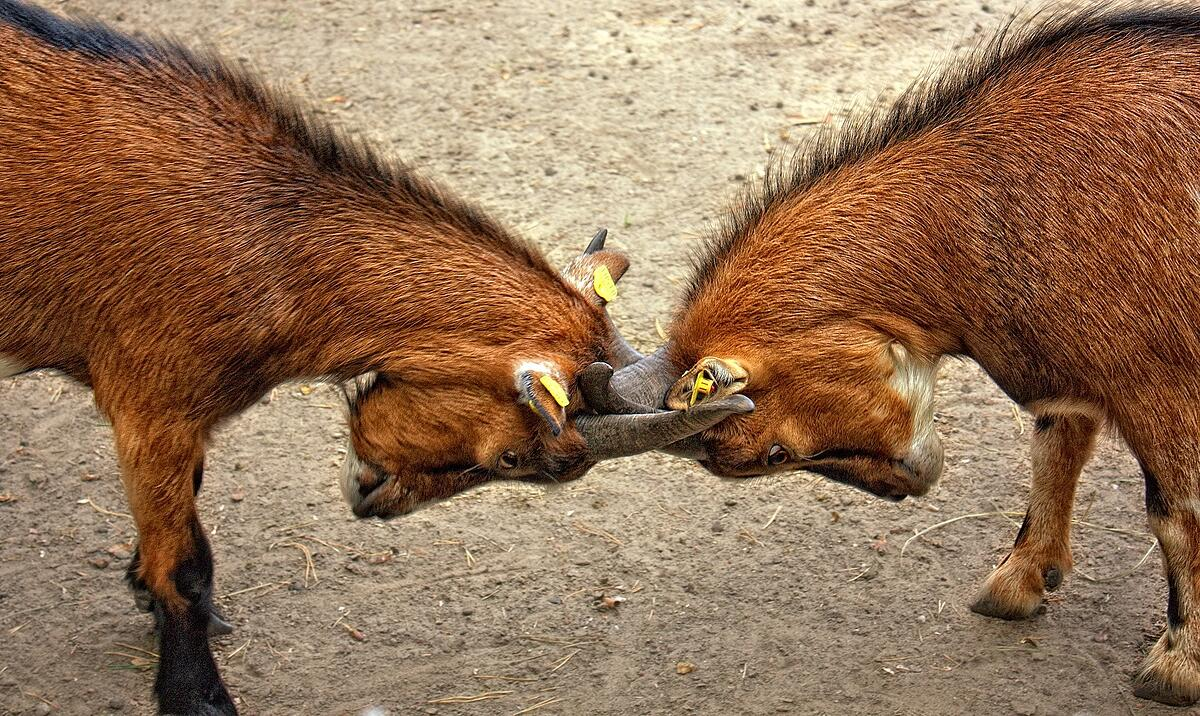 2-horned-animal-crashing-each-other-Pixabay