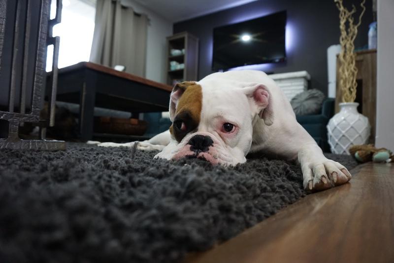 white-and-tan-english-bulldog-lying-on-black-rug-1